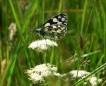 Marbled White - Ningwood